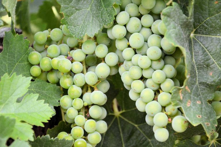 Grappes de raisins blanc